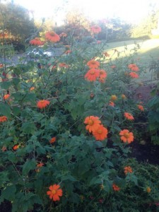 The tithonia came on strong, late summer...