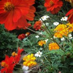 Butterflies like these cosmos, zinnias and marigolds