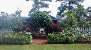 The back side - Moonvine on the arbor with the red leaf hibiscus on either side...