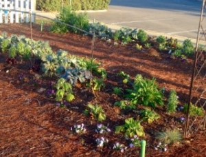 Violas, delphinium, poppies, kale, curly parsley, bachelor buttons and more growing... Mid-December