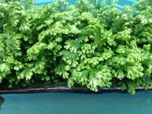 Selaginella kraussiana ('frosty fern)
