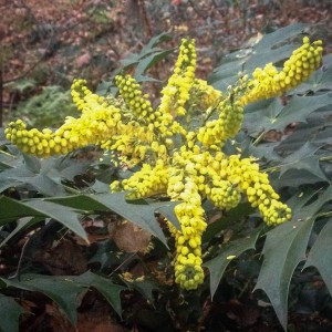 The mahonia, a year later, January, 2015