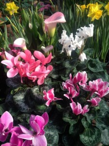 Cyclamen, Callas and Daffodils are a cheery mix...