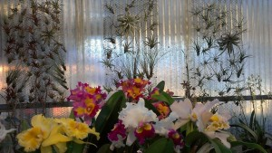 Cattleya orchids and air plants in the afternoon light...