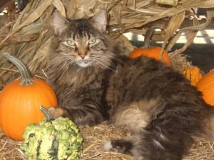 Daisy loved lying in the pumpkin display...