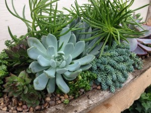 Succulents in Stone Trough