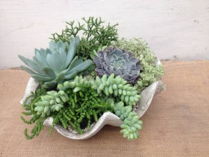 Succulents in a Clam Shell