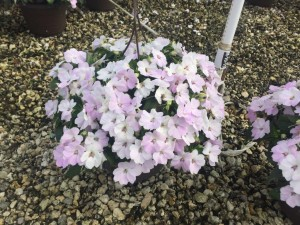 Bounce impatiens -photo courtesy Ball Hort