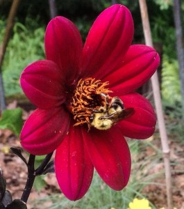 Pollinator bee on dahlia