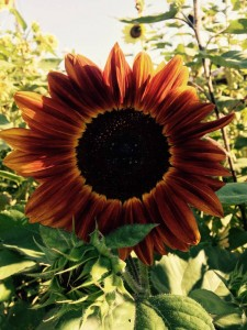 Better agate Than Never Garden Sunflower Summer 2015