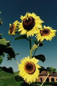 Better Late Than Never Garden Sunflower Summer 2015