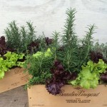 Fall - Lettuce and Herb Arrangements...