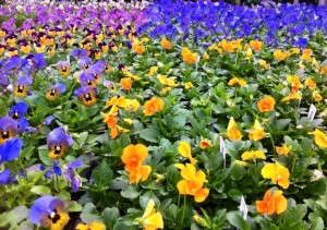 Fall - Pansies