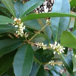 Tea olive blooms...