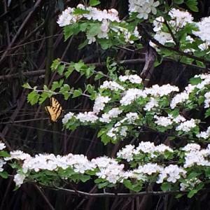 Butterfly on Parsley Hawthorne Tree