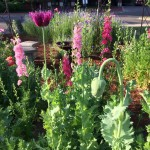 Oriental Poppy and Larkspur - Better Late Than Never Garden Spring 2016