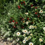 Red Cuphea, Zinnias, Lobularia
