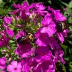 Summer Phlox and Bees
