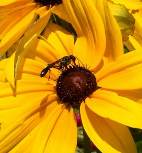 Rudbeckia 'Indian Summer' and Pollinator