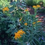 Annual Milkweed - 'Better Late Than Never' Pollinator Garden