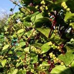 Malabar Spinach Vine - 'Better Late Than Never' Pollinator Garden