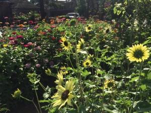 Sunflowers and Zinnias - 'Better Late Than Never' Pollinator Garden
