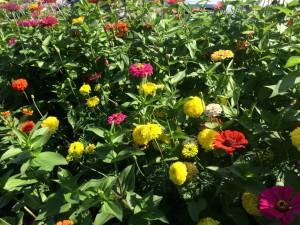 Tall Marigolds and Zinnias - 'Better Late Than Never' Pollinator Garden
