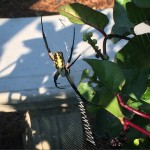 Garden Spider - 'Better Late Than Never' Pollinator Garden