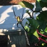 Garden Spider - 'Better Late Than Never' Pollinator Garden