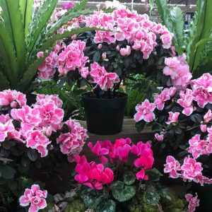 Azaleas and Cyclamen