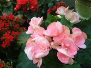 Pretty rieger begonias are lovely in mixed baskets...