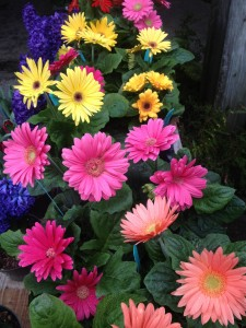 Cheerful blooms of gerbera daisies