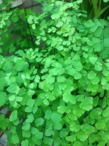 Maidenhair fern - this is the southern form - hardy for us