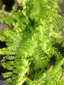 Florida ruffle - this is one frilly fern!