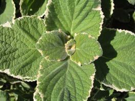 Swedish ivy - photo courtesy of Missouri Botanical Garden