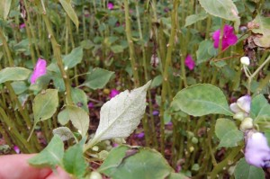 Tell-tale signs of downy mildew Photo courtesy Jim Jacobi Alabama Cooperative Extension Services