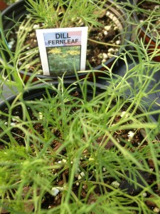 dill is grown for the leaves and dill seed