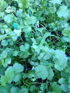 cilantro - another one that's best in cooler weather