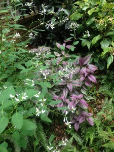 Purple/silver strobilanthes with euphorbia 'Diamond Frost' in a bed of hydrangea and fern