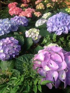 hydrangeas in the colors of Easter...