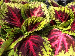 Coleus leaves come in every color and pattern imagineable...
