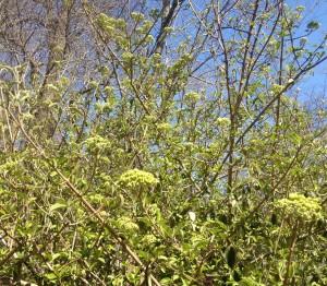 Virburnum opulus - snowball viburnum