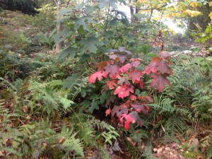 Oak leaf hydrangea lights up a woodland path...