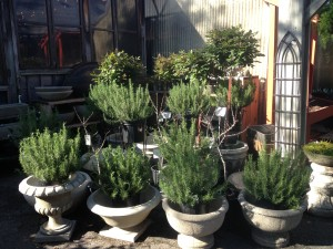 Beautiful pots of 'Tuscan Blue' rosemary...