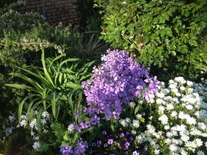 Phlox divaricata enjoying the spring sun before its shaded by the rose bush...