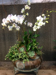 'Kent's Beauty' oregano adds a trailing element to this orchid arrangment from last December...