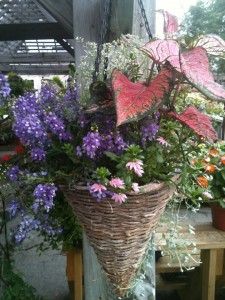 This hanging basket for sun includes a sun loving caladium, angelonia, pink fan flower, trailing silver dichondra, and an airy white euphorbia...