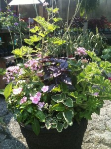 This sun lover includes pentas, scented geraniums, vinca and a 'Red Rubin' purple basil as well as a variegated Swedish ivy to meander through the entire composition...