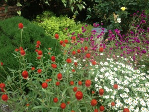 Gomphrena & narrow leaf zinnias in a hot, sunny bed