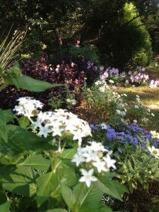 white pentas still looking fresh in this late summer photo